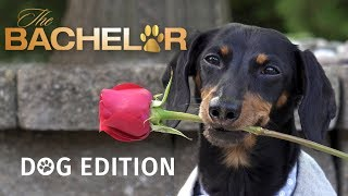 The Bachelor: Dog Edition! - Who Will Crusoe Give the Rose to?