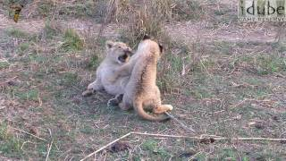 Lion Cubs Play & Fight - CUTE! #youtubeZA