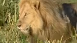 King lions establish new pride - BBC wildlife