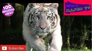 Feeding White Tigers