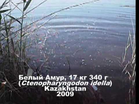 ловля белой в казахстане