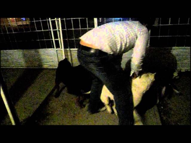 Rottweiler y Pitbull vs Pequeña Pitbull ((escenas fuertes))