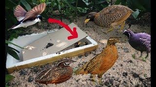 """Bẫy Chim Cút Rừng Bằng """"Thùng Xốp"""" Thật 100%  .Bird Trap Using Deep Hole With PVC Work 100%."""