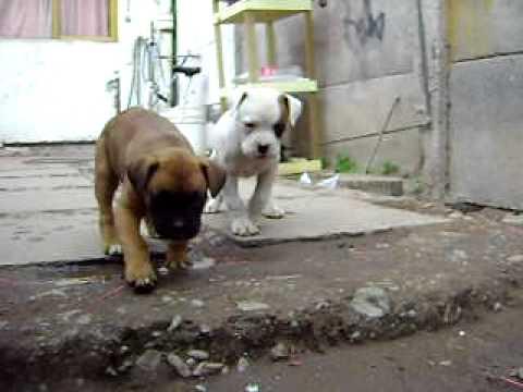Cachorros boxer de 1 mes y medio youtube - Comida para cachorros de un mes ...