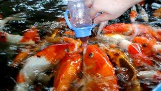 [Baby Bottle Feeding Koi Fish] Video