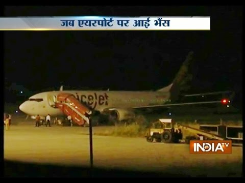 SpiceJet Flight Hits Buffalo During Takeoff at Surat Airport
