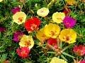 ПОРТУЛАК крупноцветковый для озеленения солнечного балкона | Уход и разведение