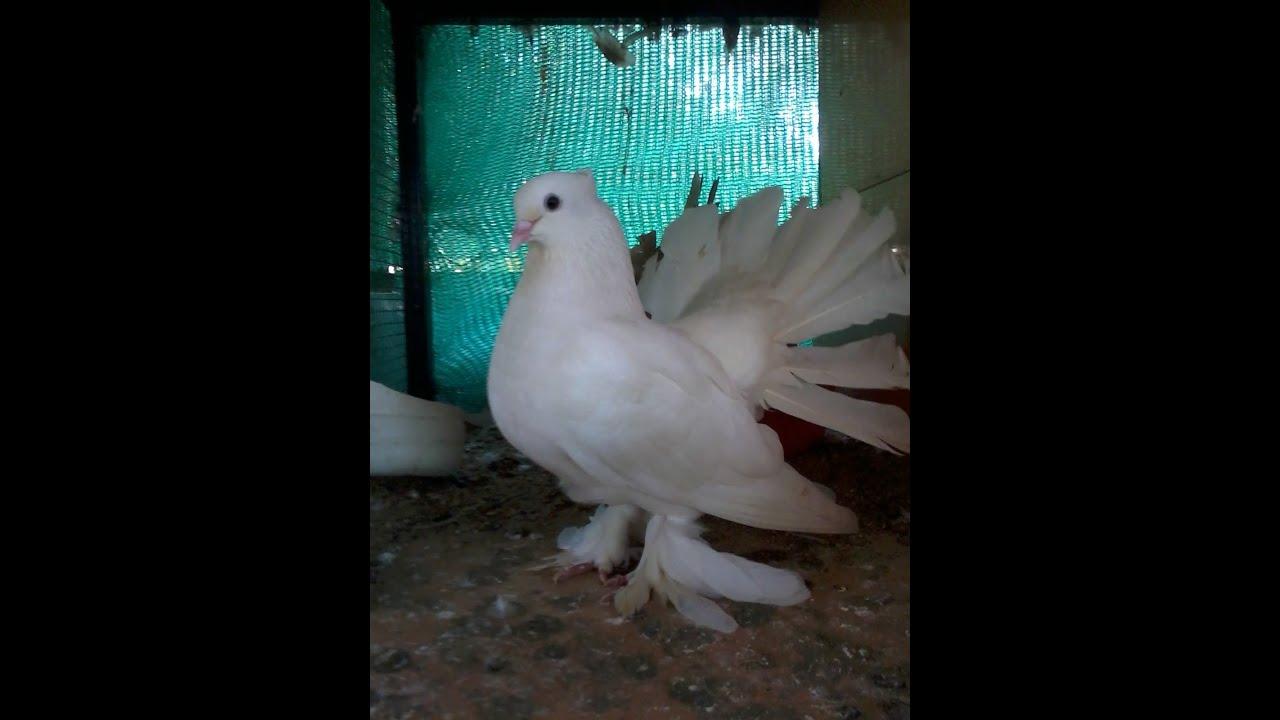 Fantail pigeon