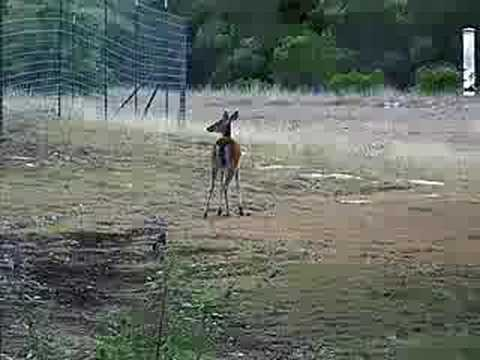deer scared by (water) scarecrow