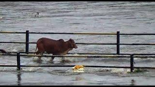cow in mutha rivers water flow  after khadakwasla dam full/mymarathi.net