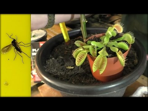 How to Kill & get rid of Fungus Gnats 4 Top Tips