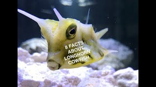 8 Facts About the Longhorn Cowfish