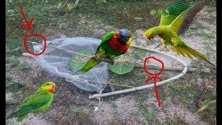 Chưa Bao Giờ Bẫy Chim Két Lại Tuyệt Vời Đến Như Vậy .Best Bird Trap .Bẫy Chim Két Bằng Lưới .Bẫy Vẹt