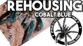 Rehousing Cyriopagopus lividus (Cobalt Blue Tarantula) by predatororpreyonline