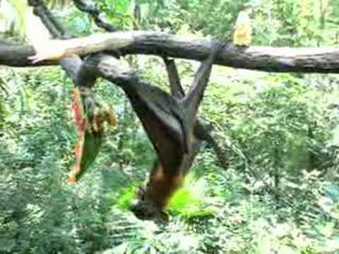 World Largest Bat - Malayan Flying Fox - YouTube
