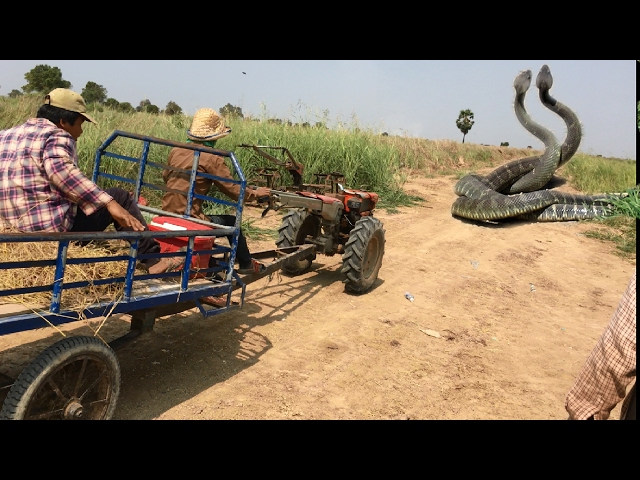 Wow! Brave Man Catch big Snake Along the road-How To Dig and Catch Snake in Cambodia-Snake Attacked