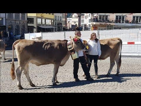 Vlog 114#2018 Ogłoszenie I Parada Krów W Szwajcarii Przed Klasztorem