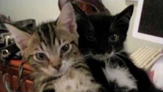 Thumb Los gatos que se desmayan