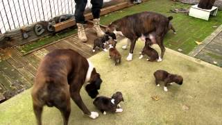 CRAZY BOXER DOGS FAMILY HAVING FUN