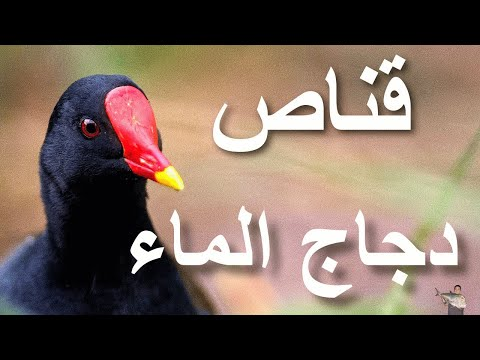 صيد ( دجاج الماء ) بالبندقية فايروخ 80 نمرة1- 21\10\2013 مصر Music Videos