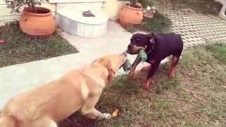 Labrador vs Rottweiler playing..  (part 1)