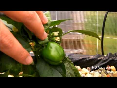 HD Aquaponics - Ep.17 - Floating Raft system, DWC, growing sweet bells and habanero peppers