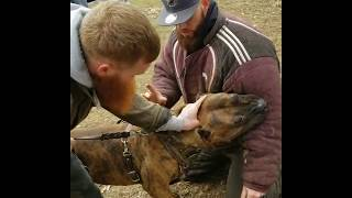 Watch how strong a pitbull's bite can be