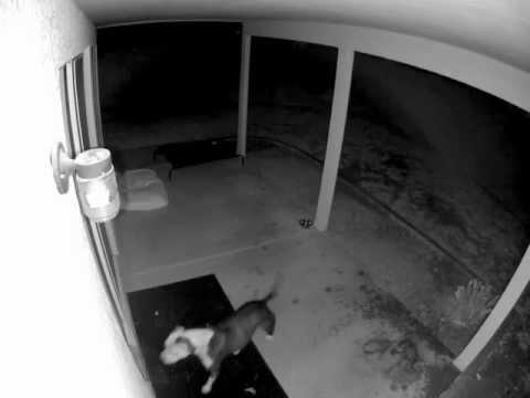 Pies kontra drzwi