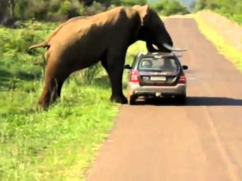 See Angry Elephant think about crushing the car with people in Shocking Music Videos