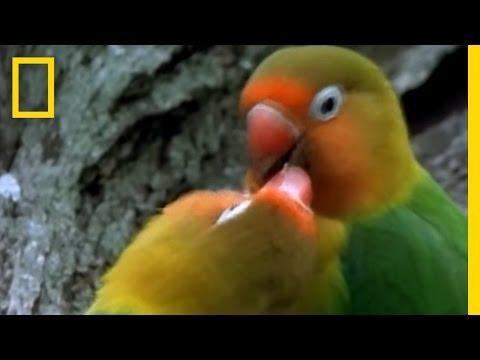 Birds Of Paradise - Lovebirds video