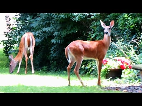 Whitetail Deer Galloping in the Backyard