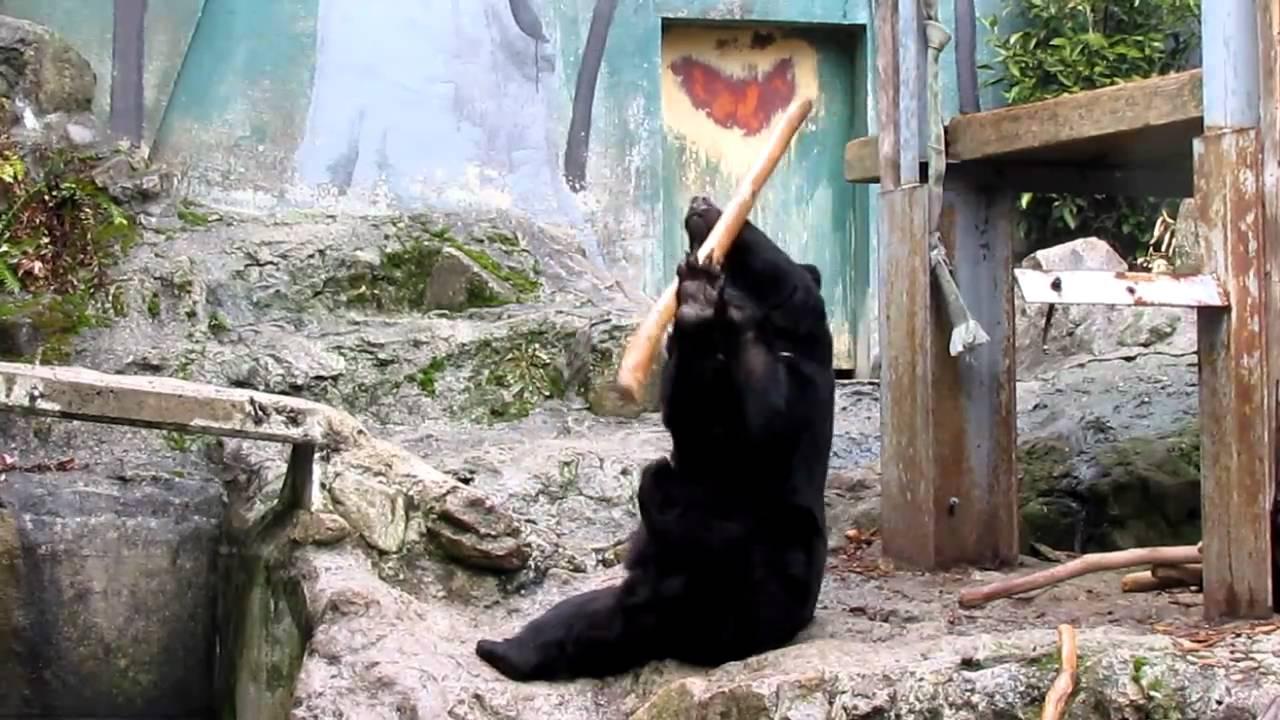 The asian black bear in Hiroshima City Asa Zoological Park ...