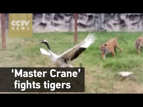 'Master Crane' fights two tigers in zoo