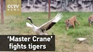 Mirá como una grulla se defiende del ataque de dos tigres
