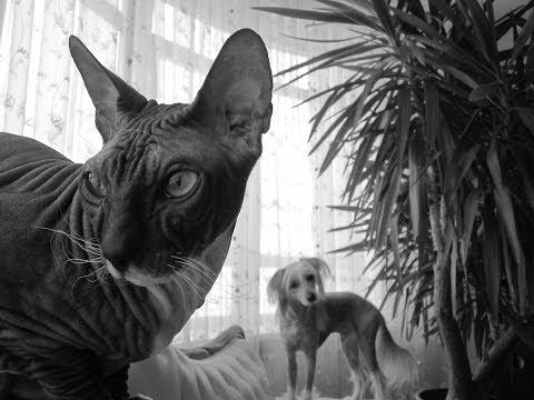 Кот сфинкс дерется с собакой! Cat and dog!