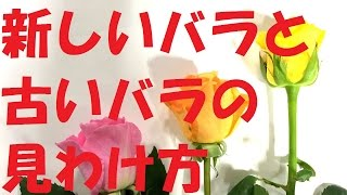 バラの鮮度の見わけ方/fresh roses or not fresh roses?~Flower TV