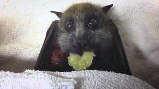 Pregnant Bat Refuses To Die So That Her Baby Can Grow Up Happy | The Dodo