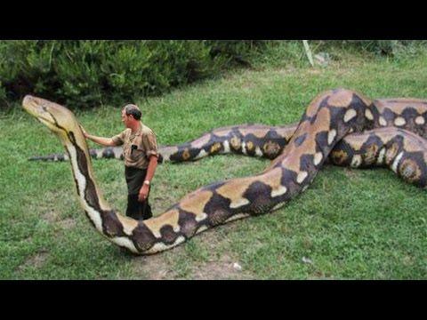 Gigantische Anaconda In Suriname Gevangen!