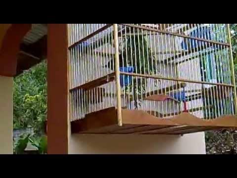 Trinidad Bullfinch Joseph video