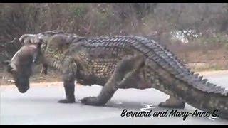 Huge Crocodile Eating Warthog in the Road - Kruger Sightings