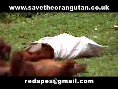 Save the Orangutans Part 3 of 3
