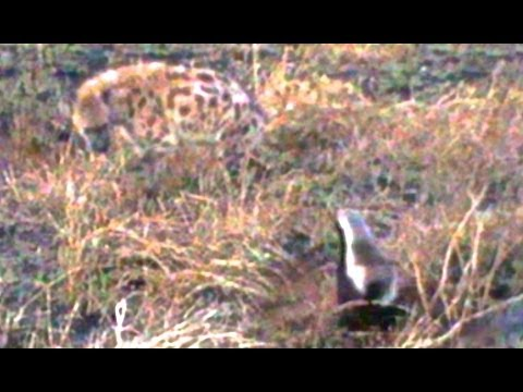 Honey Badger Stands Up To Spotted Hyena And Wins - Latest Wildlife Sightings