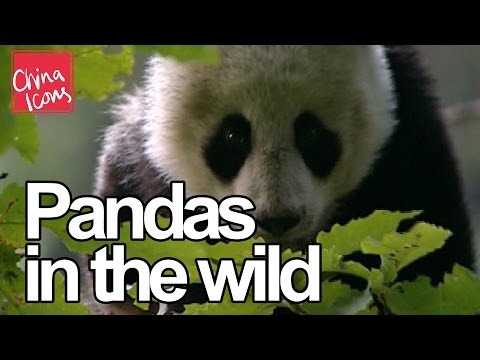 Cute baby pandas, rare footage - China Icons