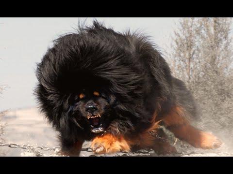 World's Top 10 MOST DANGEROUS Dog Breeds