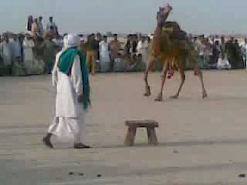 Camel dance in wedding