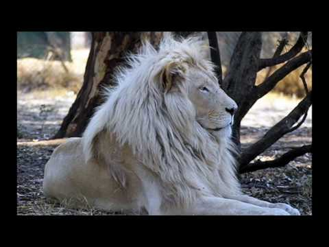 La casa del leone bianco youtube for Sfondi leone