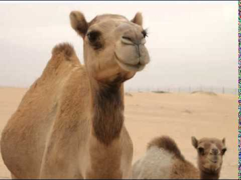 camels ratio Camels' ratio mainly indicates the capital adequacy, assets quality, management efficiency, earnings, liquidity condition and sensitivity of the market risk.