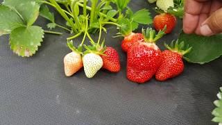 Клубника клери выращивание в теплице 97