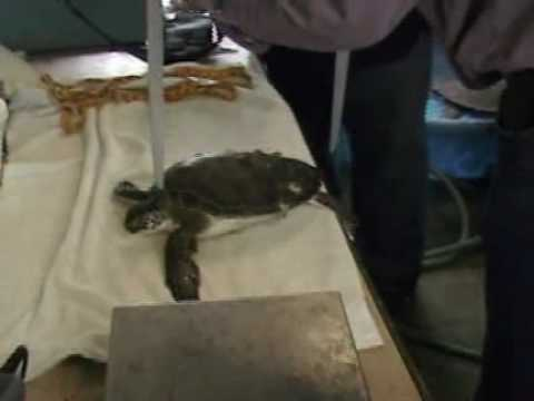 Sea Turtles affected by cold water tempatures in Aransas Pass, TX.