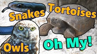 Meet the Gopher Tortoise!